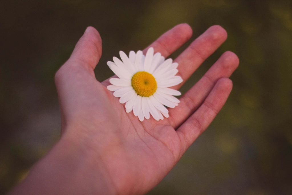 A big daisy held in an open palm
